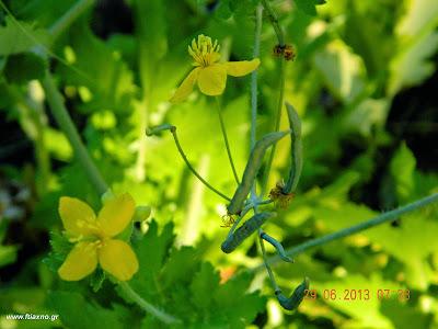 χελιδόνιο άνθη-Chelidonium Majus