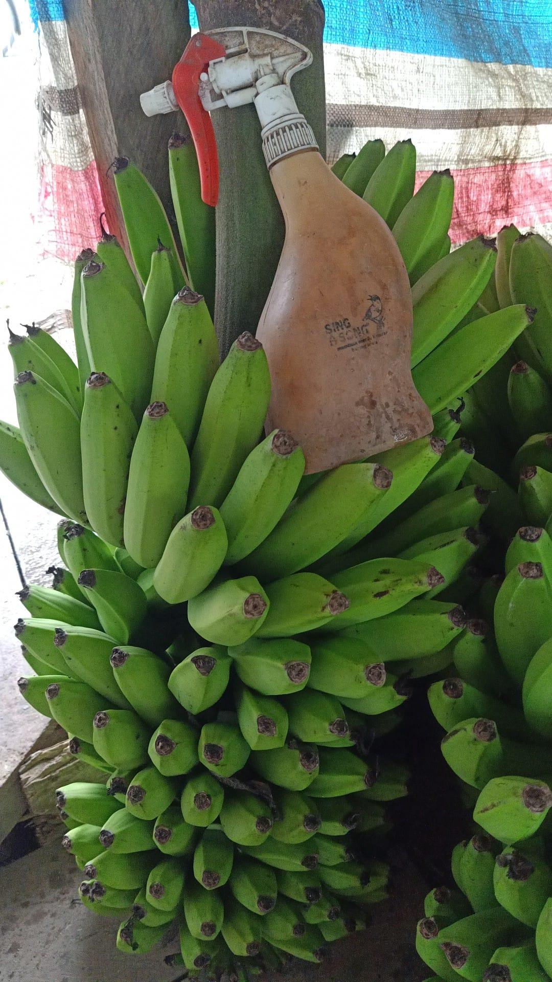 peram pisang cavendish
