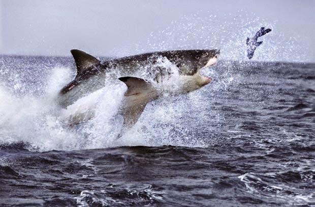 Ataque de tubarão, tubarões, Tubarão branco, tubarão, nordeste brasileiro, peixes do mar, tubarão caçando, foca