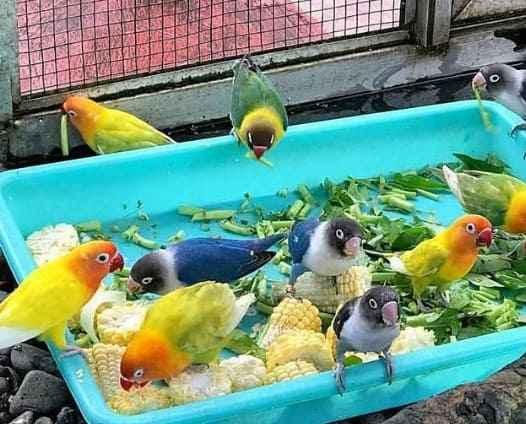 Lovebird Koloni