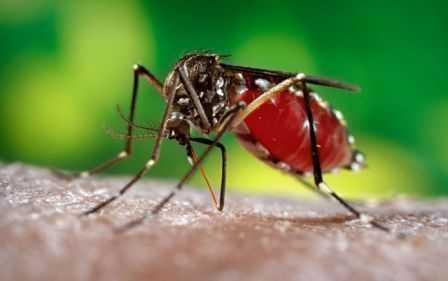 Nyamuk belang Aedes aegypti media pembawa virus bernama zika