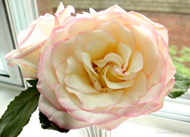 White rose with a pink edge