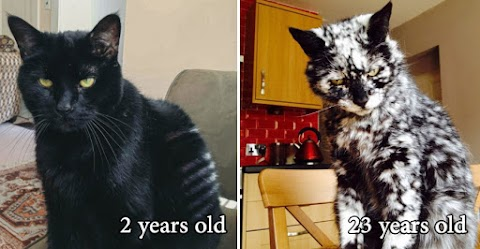 23 years old cat who was adopted in 1997 his color changes every year.
