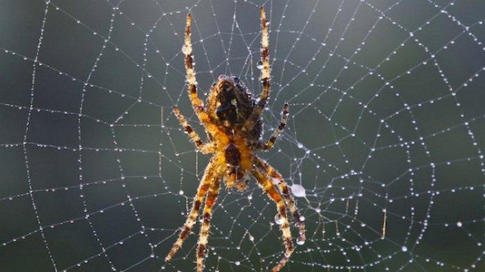 Laba-laba, manfaat laba-laba bagi kehidupan umat manusia, manfaat laba-laba bagi kehidupan, manfaat laba-laba bagi manusia, laba laba reparasi, laba laba paling mematikan, laba laba raksasa, laba-laba serigala, laba-laba klasifikasi lebih rendah, laba-laba besar, klasifikasi laba laba, sarang laba-laba