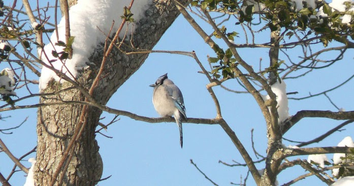 Wild Birds Unlimited: Blue Jay in Snow