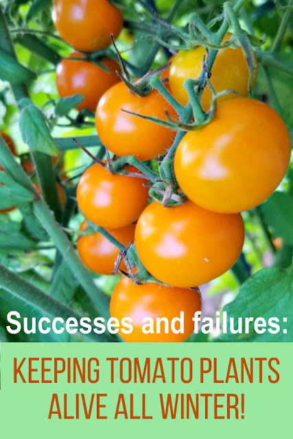 Is it possible to keep tomato plants alive all winter without a greenhouse? I've been doing this for several years - sometimes successfully and sometimes it's a total failure. Here's my experiences and some advice if you'd like to try it too.