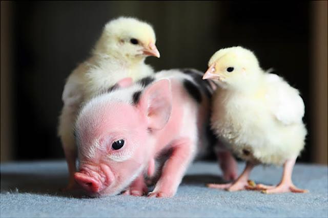 Three cute images time (hora de tres imágenes tiernas) pig cerdo chick pollitos
