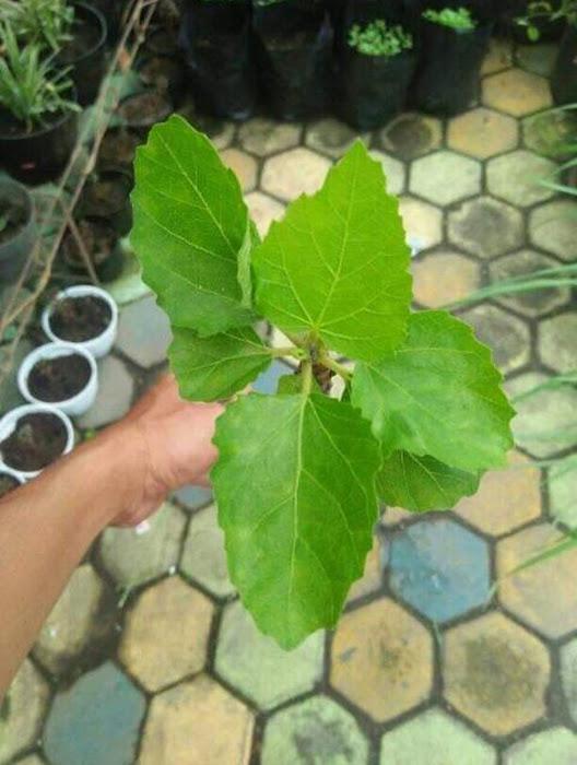 Bibit buah tin green yordan hasil cangkok Batu