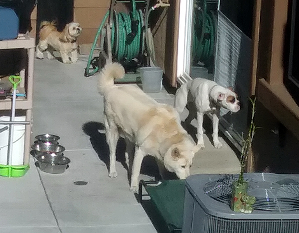 The White Shepherd, Lhasa Apso and American Bulldog milling about in my neighbor's backyard...on April 30, 2021.