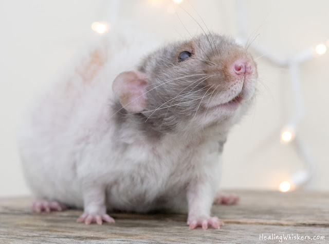 Vincent the therapy rat passes away