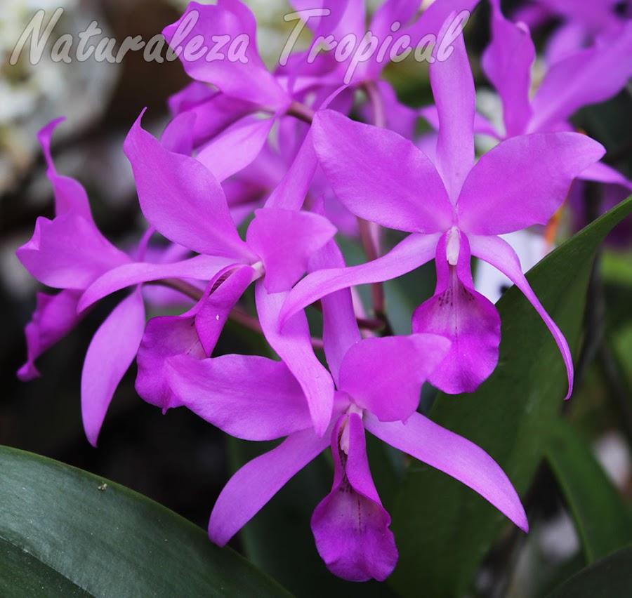 Orquídeas del género Guarianthe