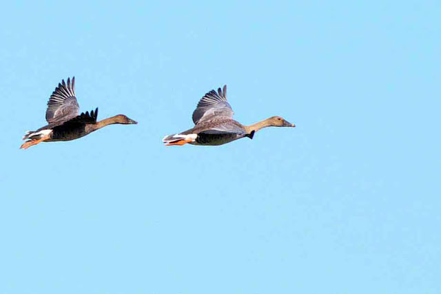 Bean Geese in flight, pair, birds, Anser serrirostris