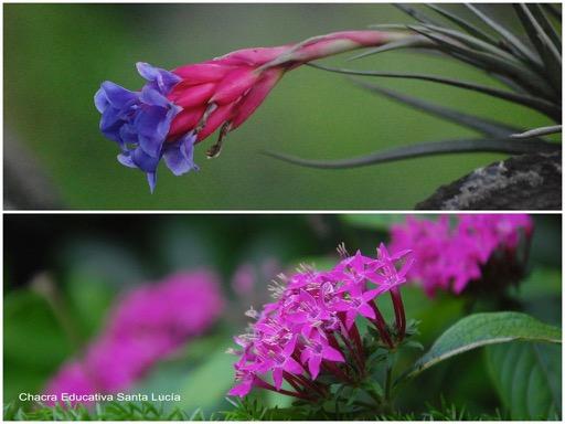 Flor de clavel del aire / La gama de rosados intensos se acerca al color violeta  - Chacra Educativa Santa Lucía