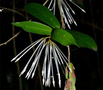 เข็มภูลังกา (เข็มก้นปิด,เข็มดง) เข็มถิ่นเดียวของไทย ดอกสีขาวอมชมพู ดอกมีกลิ่นหอม