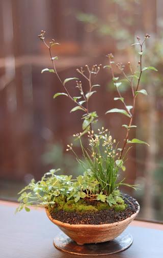 山野草盆栽教室作品例 キヨスミシラヤマギク イトラッキョウ ユキシロキンバイ