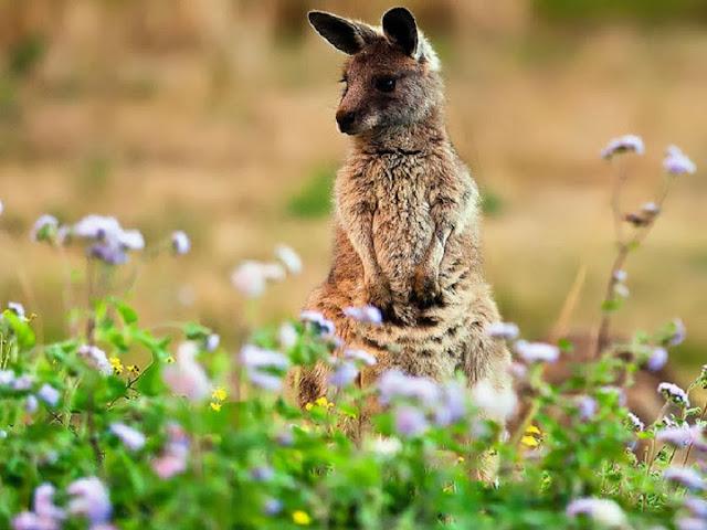 Kangaroos Animal wallpapers