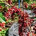 No Dia Nacional do Café, qualidade da espécie coffea canephora de Rondônia é destaque