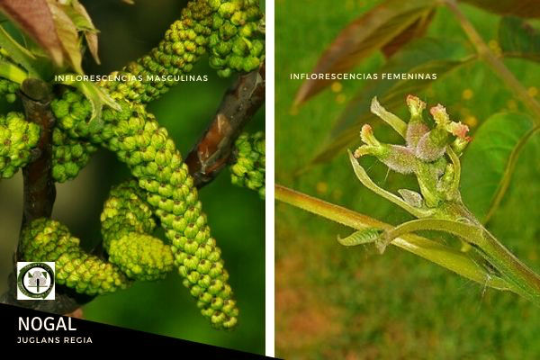 Las flores machos brotan del leño viejo, del año anterior, por debajo de las femeninas, y se recogen en ramilletes apretados