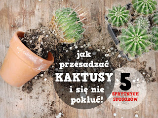 jak przesadzić kaktusa