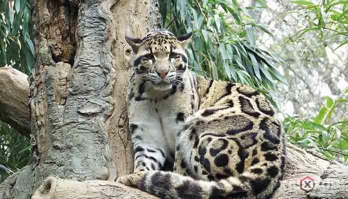 Gambar hewan karnivora atau hewan pemakan daging - Macan Dahan