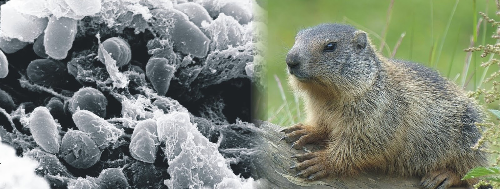 Another bubonic plague linked to people eating marmot meat ...