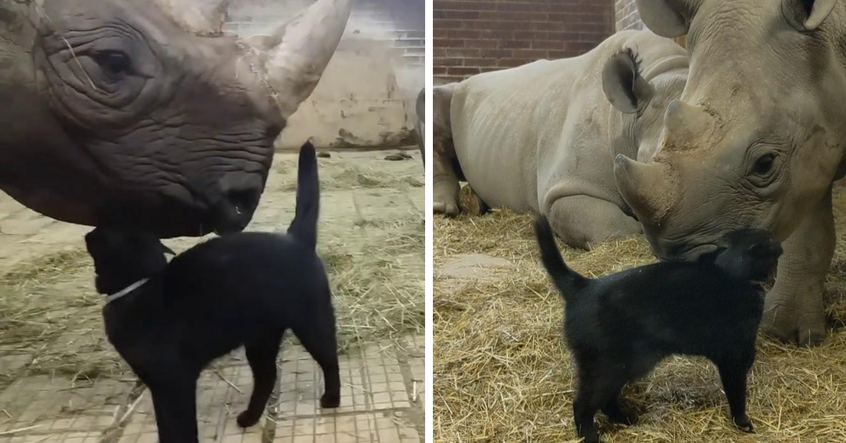 Adorable Footage Of Cat Cuddling With An Endangered Black Rhino