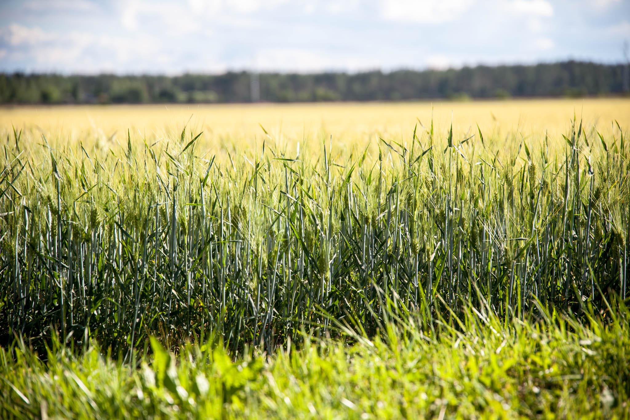 viljaa kasvaa pellolla