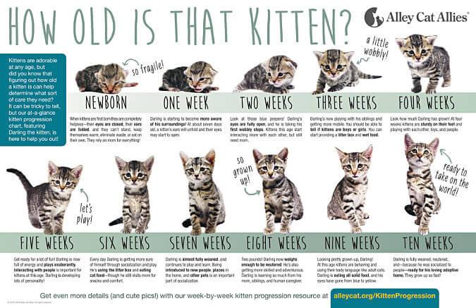 kitten  progression chart