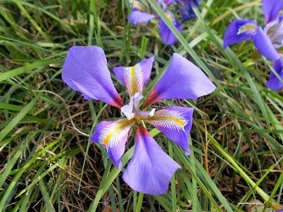 Ίριδα: Iris unguicularis