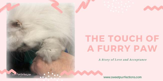 Silver Persian cat touching human hand