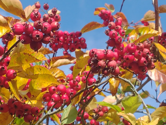 Spectacular autumn foliage and fruit