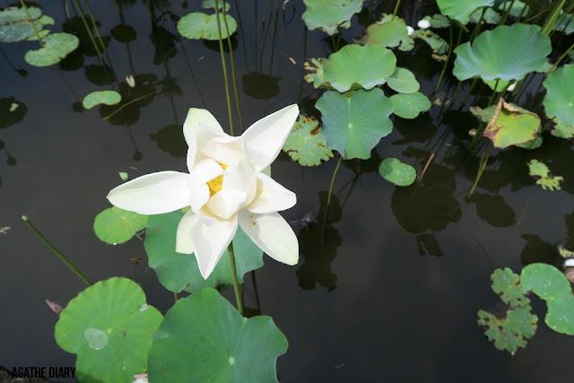 Fleur de lotus jardin Pamplemousse île Maurice Agathe Diary