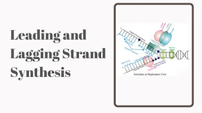 Leading and Lagging strand Synthesis