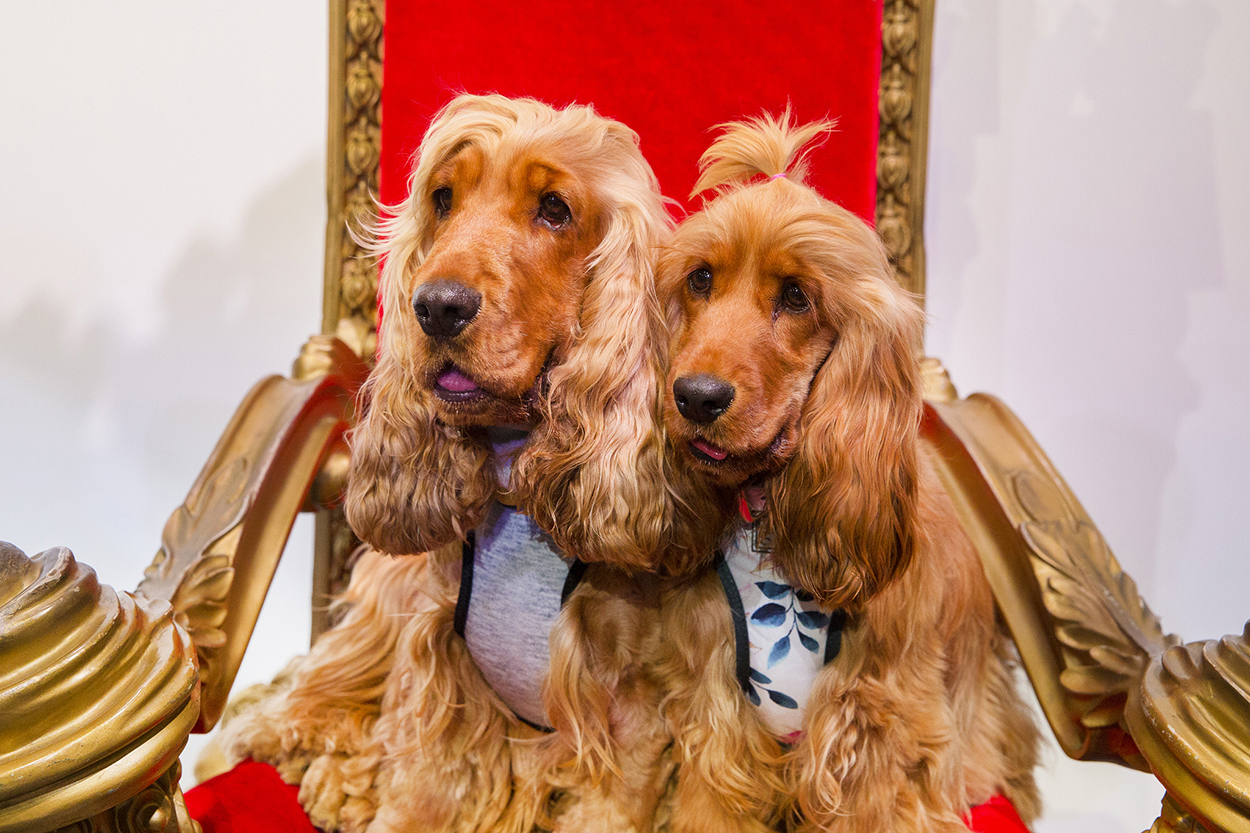 Instafamous Cocker Spaniels Charlie and Frankie sit on red velvet chair in the Insta-Pooch Zone