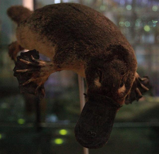 3. Platypus