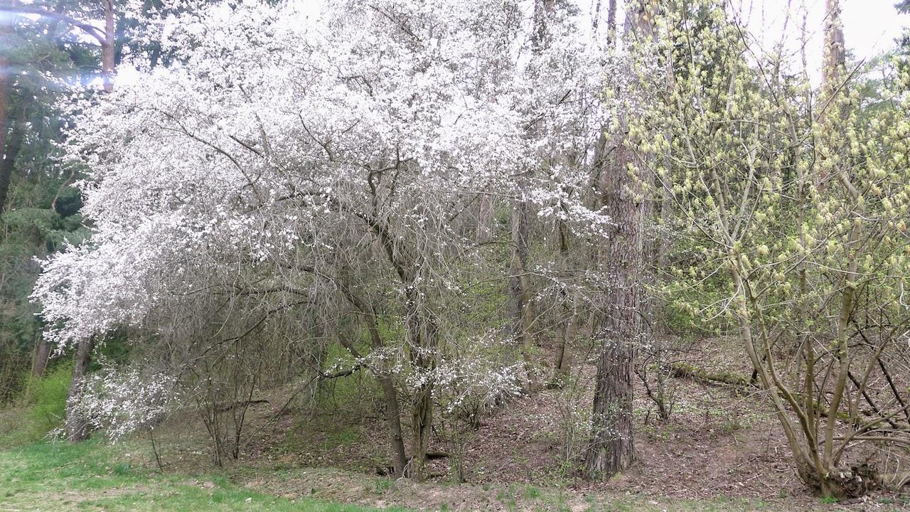 Žydintys medžiai Saulės slėnyje Antakalnyje