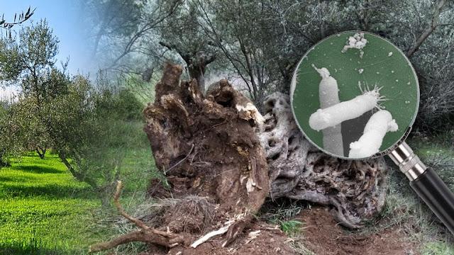 """Βακτήριο """"δολοφόνος"""" απειλεί τα ελαιόδεντρα"""