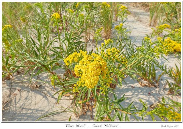 Crane Beach: ... Seaside Goldenrod...