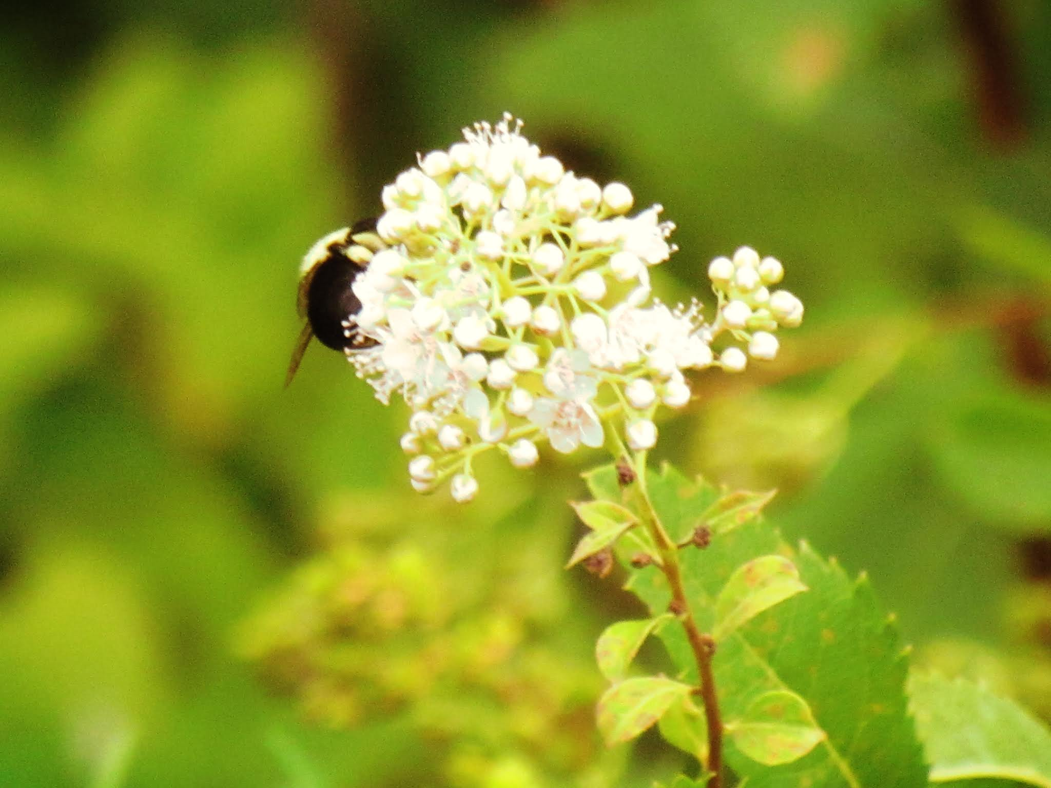 Seasonal Bucket List for Everyday Laurali Star - photo of Bumblebee pollinating a pretty white flower bloom