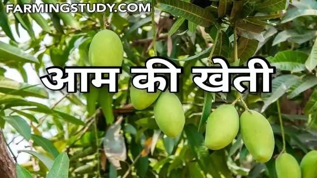 आम की खेती (aam ki kheti) कैसे की जाती है, पूरी जानकारी, aam ki kheti kaise kare, भारत में आम की उन्नतशील खेती, Fruit Farming in hindi, Farming Study,