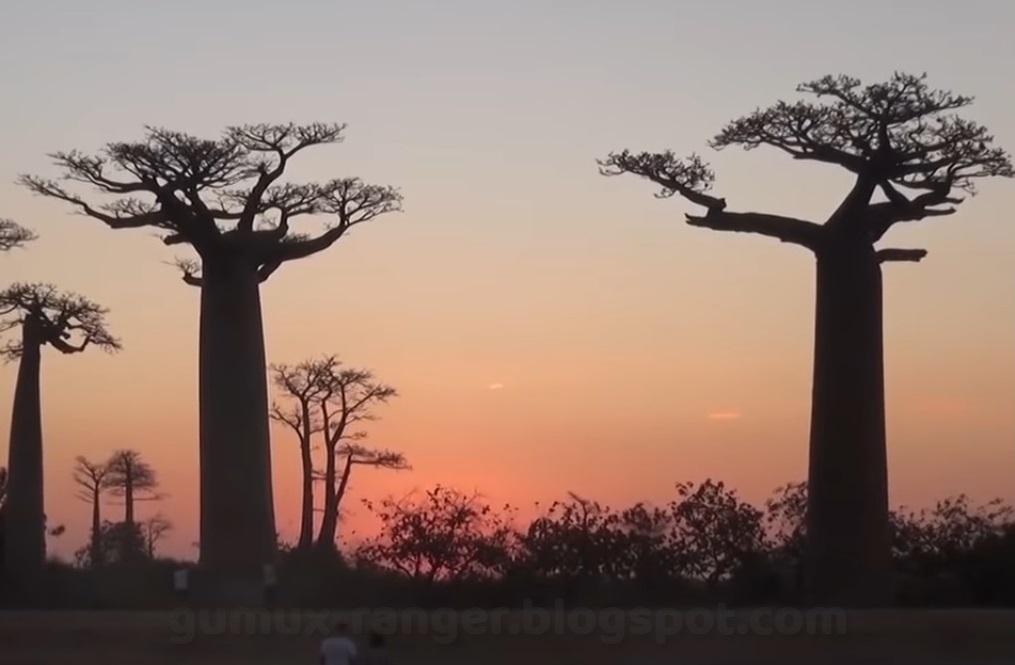 Pohon Baobab Grandidier