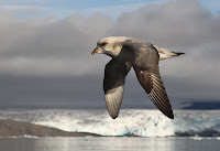 Northern Fulmar, dark morph – Ny Alesund, Svalbard – Aug. 2010 – photo by Daniele 1357
