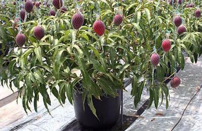 cara menanam mangga tabulampot