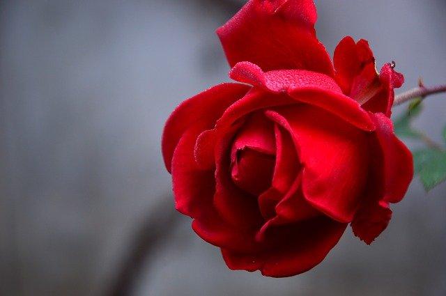gambar mawar merah dan artinya