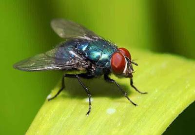 sinekler-ne-yer-sinekler-nasil-beslenir-sinekler-hakkinda-ilginc-bilgiler