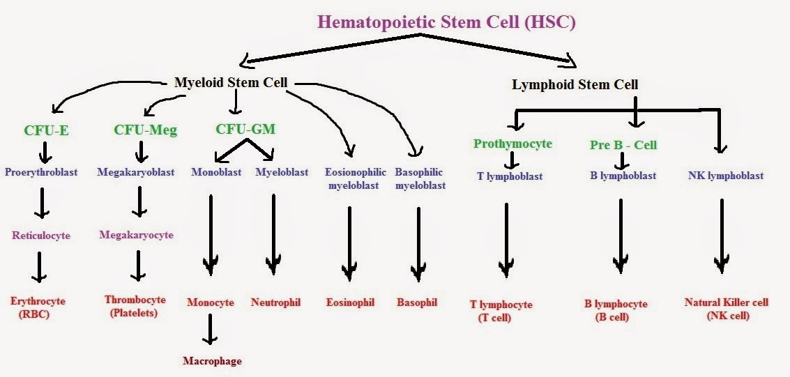 haematopoiesis located in bone marrow section biology essay The ends of long bones, called epiphyses, contain spongy bone spongy bone contains red bone marrow, which is the site of erythropoiesis the shaft of the long bone is the diaphysis and houses yellow bone marrow, which mainly functions for fat storage articular cartilage is found on the exterior of.