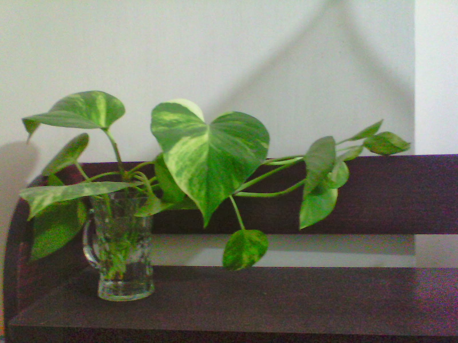 Money Plant In Water
