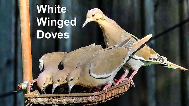 White Winged Dove Flock