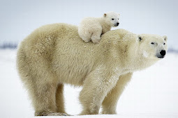 ホッキョクグマ可愛い写真 Polar Bear Cute Photo 4