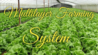 Multilayer farming, multi-layer farming system, Akash chaurasia multilayer structure, multilayer farming benefits, multilayer, 4 crop combination system